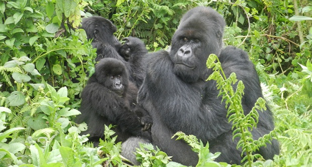 bunch-of-gorillas